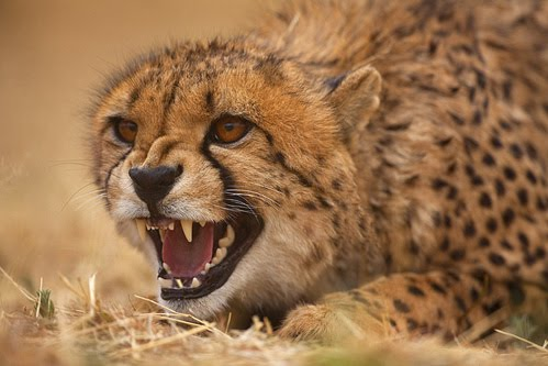 Jim Zuckerman, cheetah, wildlife photography