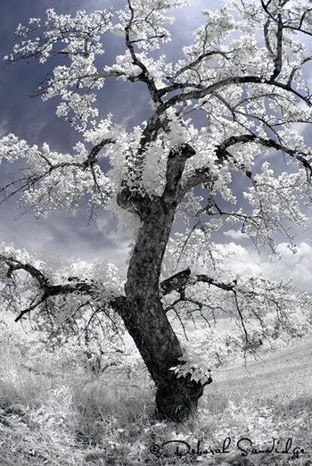 Infrared_Tree_Deborah_Sandidge