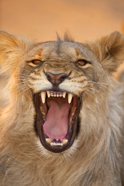 Lion_Namibia_Jim_Zuckerman