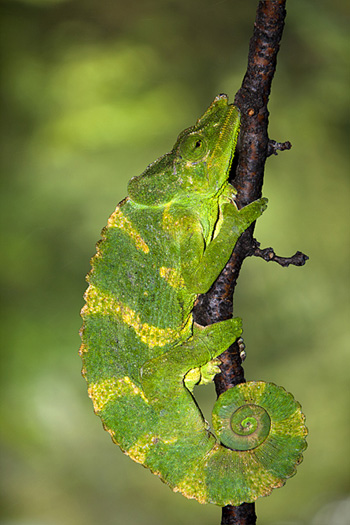 Meller's_chameleon_photo_Jim_Zuckerman