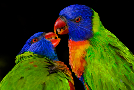 Parrots_topaz_simplify_Deborah_Sandidge
