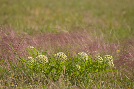 Milkweed-Telephoto-Texas-Rob-Sheppard