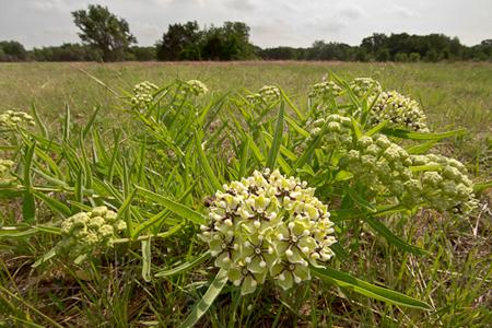 Wide-Angle-Milkweed-Texas-Rob-Sheppard