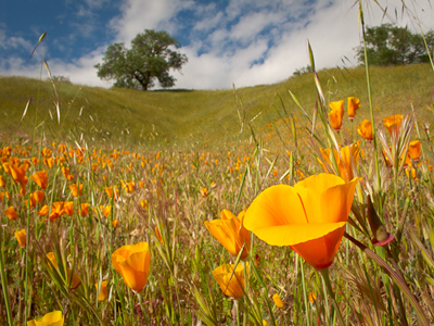 California_Poppies_Rob_Sheppard