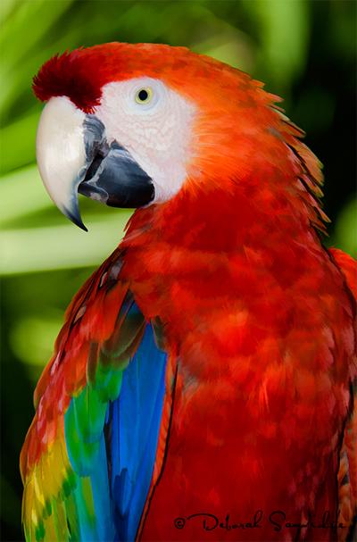 Macaw_Deborah_Sandidge