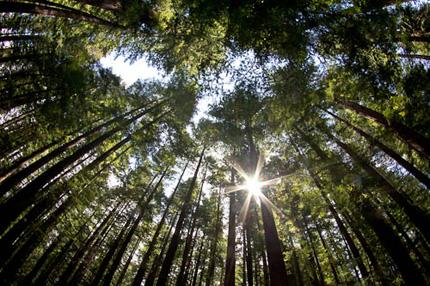 Sunburst_Redwoods_Rob_Sheppard