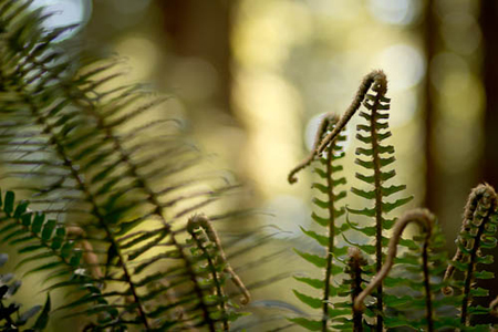 Rob_Sheppard_5_Ferns_Photo-Redwoods