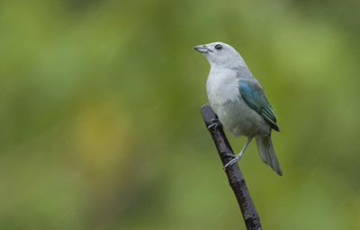 Blue-gray-tanager-photo-Jim Zuckerman