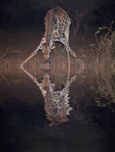 Flamingpear_giraffe_Jim_Zuckerman
