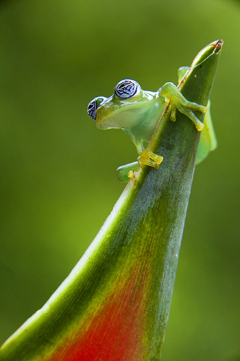 Glass-Frog-Photo-Jim-Zuckerman