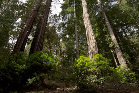 Rob_Sheppard_2_Redwoods