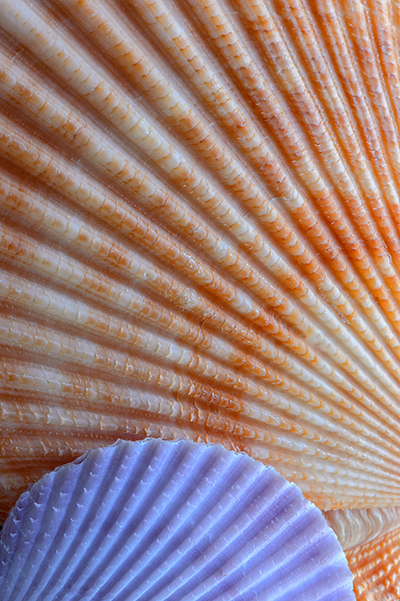 Scallop_Seashells_KDK0671