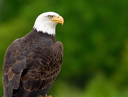 Depth Field QA Eagle