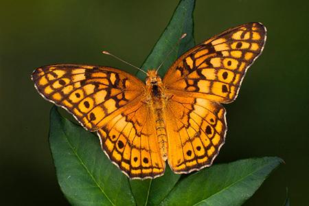 Variegated_fritillary_butterfly_jim_zuckerman